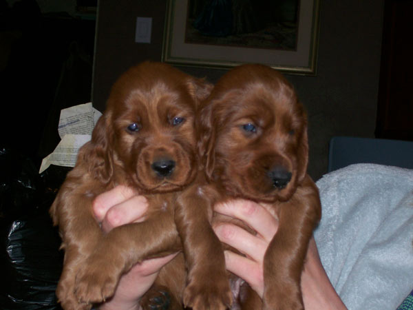 two_longford_puppies_600